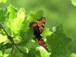 Schmetterlingszeit: von Großen und Kleinen Füchsen