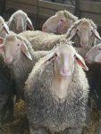 Vier NABU-Schäferinnen bei Sachkundelehrgang Schafhaltung