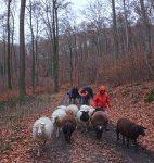 Waldwanderung mit Schafen