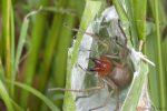 Die giftigste Spinne Deutschlands