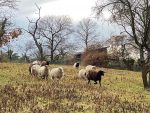 NABU-Schafe am Seeheimer Blütenhang