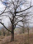 Alte Streuobstwiese am Malchener Blütenhang freigelegt