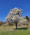 Aurorafalter - Frühling am Blütenhang