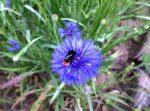 Der Insektenfreundliche Garten