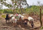 Besuch bei der Schafgruppe