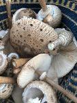 Pilz-Jagd mit den Füchsen