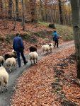 NABU-Schafe ziehen Richtung Winterweide