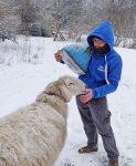 Im Winterlager der NABU-Schafe an den Märchenteichen bei Seeheim
