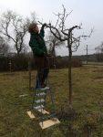 Obstbaumschnitt im Kirschgarten II