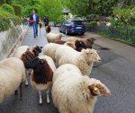 Schafwanderung im Schöntal