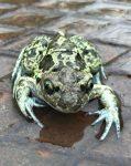 Todesfallen für Amphibien