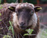 Namenstaufe für die neuen Schafe