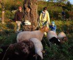 Wanderung mit den NABU-Schafen