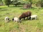Bei den NABU-Schafen