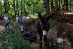 NABU-Exkursion zur Waldweide mit Schafen und Eseln