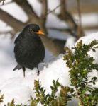 Wintervögel in diesem Jahr zugfaul