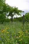 Aktion Blumenwiese - es blüht