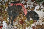Unglück auf der Schafweide auf den Etzwiesen: Schaf Donna gerissen