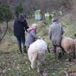 Die Wühlmaus-Schafe werden zurück auf die Etzwiesen gebracht