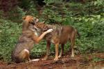 Hände weg vom Wolf!